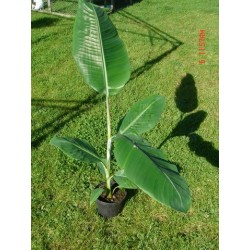 Musa Helens hybrids