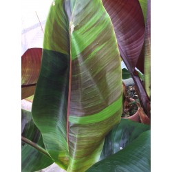 Musa sikkimensis 'Red Tiger'