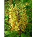 Hedychium hybride