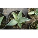 Agave macroculmis Conception del Oro 3000m