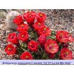 Echinocereus mojavensis inermis'La Sal Mts Utah'