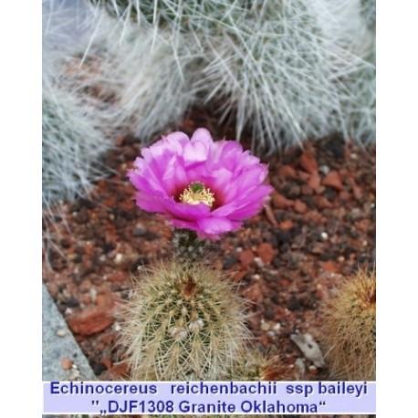 Echinocereus reichenbachii baileyii
