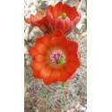 Echinocereus coccineus SB 298
