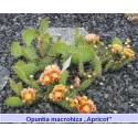 Opuntia macrohiza 'Apricot'