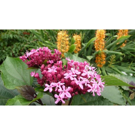 Clerodendron bungeï