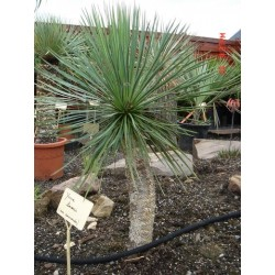 Yucca linearis Blue form